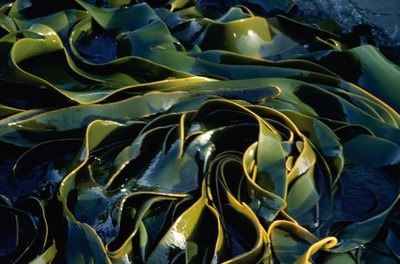 Kelp contains a diverse variety of nutrients.