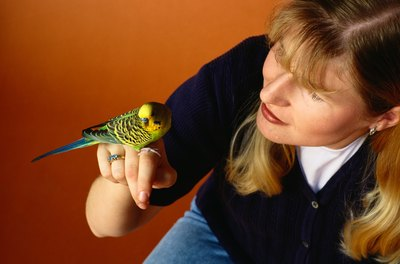 Caring for a sick budgie is a lot like caring for a sick child.