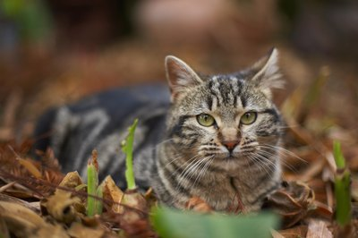 Your cat can pick up fleas while outdoors.