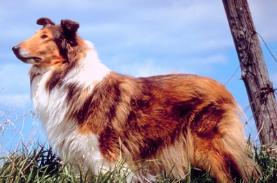 Lassie is perhaps the most famous and recognizable rough-coated collie.