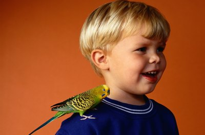 Single parakeets kept as pets bond with their human families.