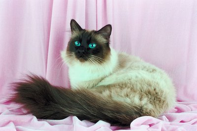 Himalayans are fluffy like Persians with the color points of a Siamese.