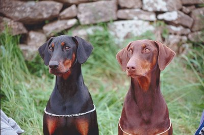 Dobermans have a reputation for being good guard dogs for a reason.