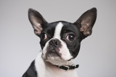 Boston terriers have a reputation for excessive licking.