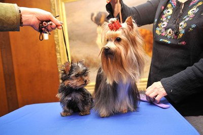 Coat colors change as Yorkies age.