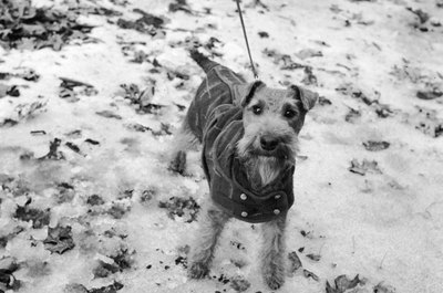 Indoor dogs benefit from a warm coat to wear outside in winter.