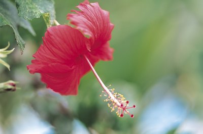 The hibiscus flower gives the tea its bright pink color.
