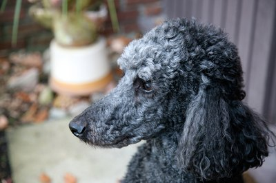 Standard poodles are more than 15 inches tall.