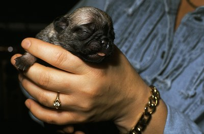 During the first couple weeks of life, your puppy will need to be given a bottle every few hours.