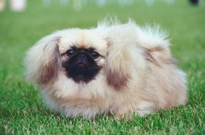 Your poofy Peke can rock a hairstyle of any length.