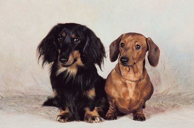 The various coat types give miniature dachshund puppies different appearances.