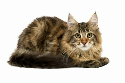 Maine Coons are one the largest breeds of cats.