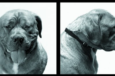 Clean your mastiff's face and body.