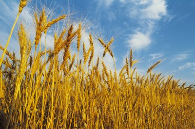 Gluten is a protein found in wheat, barley and rye.