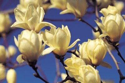 Ingesting a few magnolia petals shouldn't hurt your pet.