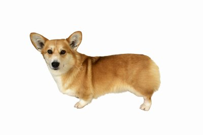 Aggressive corgis can be trained to be a endearing as they look.