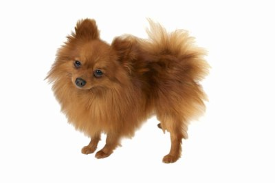The Pomeranian's fluffy coat requires consistent upkeep.