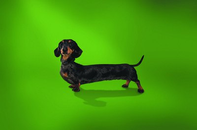 Long and low often means back problems for doxies.