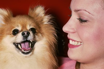 A Pomeranian makes an excellent companion and watchdog for her owner.