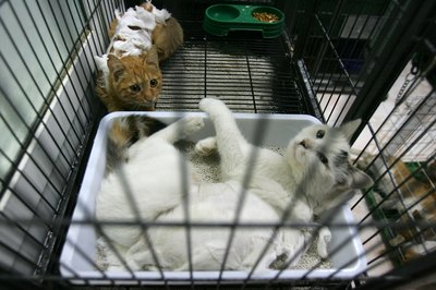 Feral cats are trapped so they can be neutered.