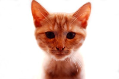 Like all tabbies, ginger tabbies have an 'M' on their foreheads.