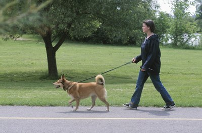 Even a stubborn dog can learn to walk nicely on the leash.