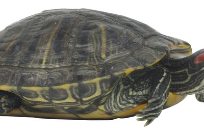 Red-eared sliders aren't the smallest of the popular pet turtles.