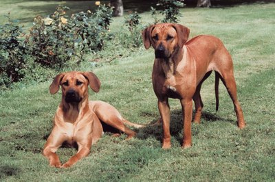 Rhodesian ridgebacks catch on quickly to consistent, reward-based training methods.