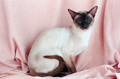 Siamese kittens are born completely white and darken with age.
