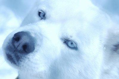 Gotta love all those irresistible husky antics.