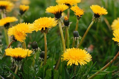Dandelions are edible.