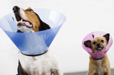 Two dogs mean double the fun and sometimes double the cones of shame.