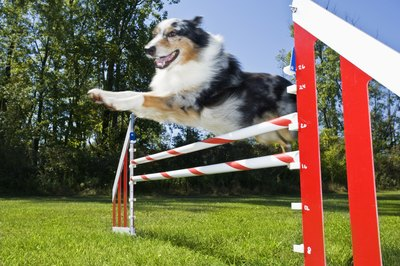Teach your dog to jump over obstacles by slowly increasing the height.