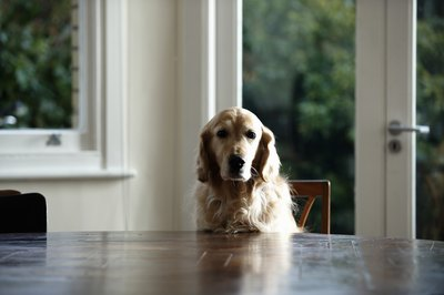 Golden retrievers are most commonly diagnosed with hypothyroidism.
