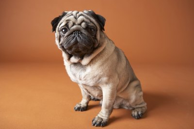 The pug is one of several breeds more prone to weeping eyes.