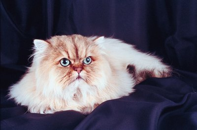 The chocolate lynx point Himalayan pattern is an expression of the agouti (tabby) gene on the solid-colored markings.