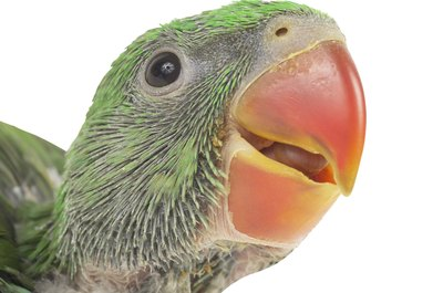 Eye problems in parakeets require immediate vet attention.