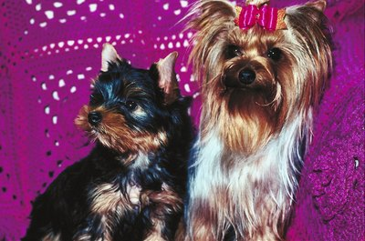 With their versatile and soft fur, Yorkies sport long, short and accessorized hairstyles.