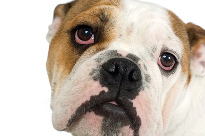 Your English bulldog's eyes can tell you a lot about the state of his health.
