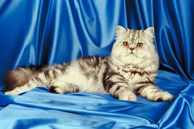 The exotic shorthair is the easily groomed cousin of the Persian.