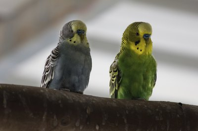 Quality, nontoxic perches give parakeets a nice place to sit.