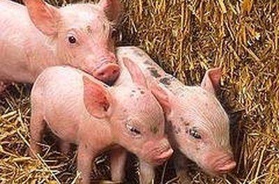 Sex pigs mating