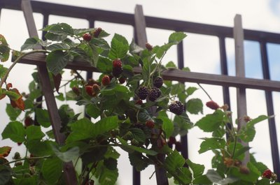 Berries are popular with many birds.