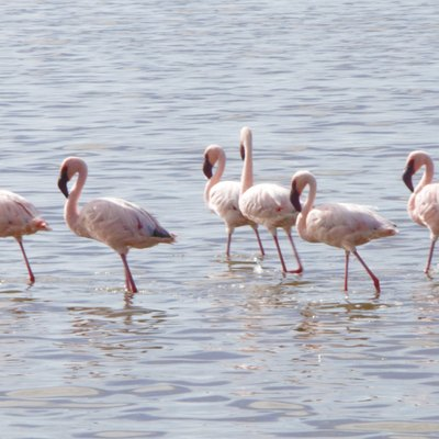 A group of flamingo in a small lake inside Serengeti plain. This p