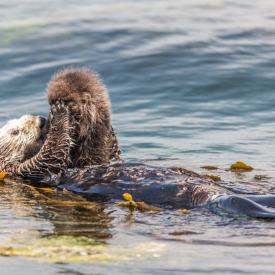 A newborn baby Sea Otter, Enhydra lutris, appeared near Target Rock adjacent to Morro Rock, in Morro Bay, CA, around noon on Thursday, May 29, 2014. The mother Sea Otter, floating on her back, was constantly preening and massaging her newborn pup who was propped up on her tummy. The Sea Otter (Enhydra lutris) is a marine mammal native to the coasts of the northern and eastern North Pacific Ocean. Our colony here in Central California is one of the more robust and vibrant on the California coast. More info on sea otters can be found at en.wikipedia.org/wiki/Sea_otter where several other of my Sea Otter images are published by others on Wikipedia.