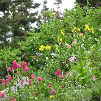 Wildflowers of the Albion Basin, near Alta, Utah.