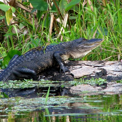 An alligator on the St. Johns River