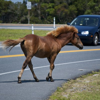 One of the wild (feral) horses (Equus caballus) of Assateague Island, Maryland, USA, crossing a road. Behold his glorious flowing mane.