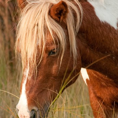 A wild pony grazes on Assateague Island National Seashore