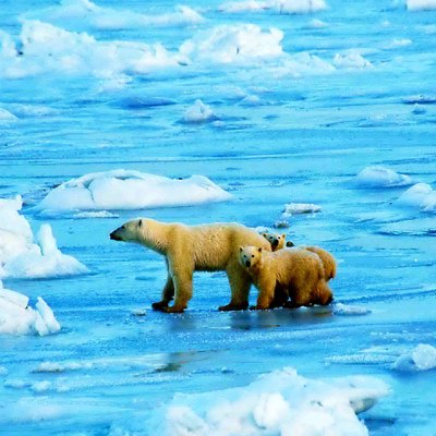 Polar bear mother & two cubs (Wapusk National Park, Manitoba, Canada)